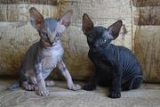 Котята канадского сфинкса (девочка и мальчик)